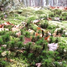 Tiny forest within the forest. #forest #woods #moss #mossy #tree #trees #tiny #flora #underfoot #hike #naturelover #nature #natural #wild #wilderness #harmony #newjersey