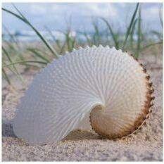 Sea And Ocean, Ocean Beach, Nautilus Shell, Shell Beach, Shell Art, Stretched Canvas Prints, Ocean Life, Marine Life, Sea Creatures