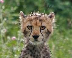 """""""No, Mom is not gonna be happy with me for sneaking out in the rain.I'm in big trouble now."""" Baby cheetah in Africa after rain by National Wildlife Photo Contest entrant Greg Cortopassi. Cute Animal Photos, Cute Pictures, Large Animals, Cute Animals, Animals Are Beautiful People, Baby Cheetahs, Japanese Akita, Silly Rabbit, Exotic Cats"""