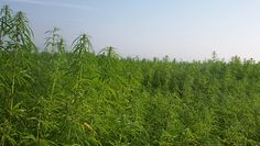 Researchers at University of Connecticut have found that industrial hemp has properties th...