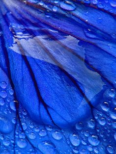 Behemoth Drop by tarotastic ~ water drop reflection on blue petal