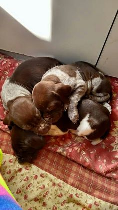 """German Shorthaired Pointer Pups ~ Classic """"Huddle"""" Look"""