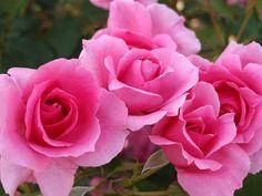 'Country Dancer' rose