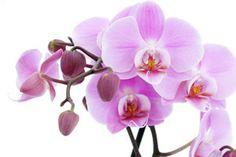 Orkide bakımı, orkide saksı seçimi, orkide toprağı hazırlama ve özel üretim teknikleri gibi orkideler hakkında merak edilen herşey.