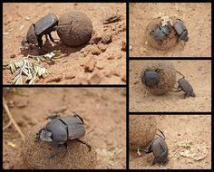Dung Beatle Chobe - Botswana
