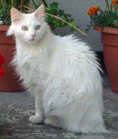 67 Best Turkish Angora Cats Images Angora Cats Turkish Angora Cat