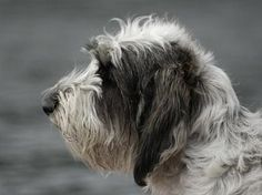 PETIT BASSET GRIFFON VENDEEN Pet Dogs, Dogs And Puppies, Dog Cat, Doggies, Petit Basset Griffon Vendeen, Basset Hound, Rottweiler, Puppy Love, Creatures