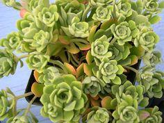 Sedum spathulifolium Aureum
