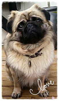 Dog Of The Day Karlo King Of Pug Pug Stuff Pugs Dogs Pug Beagle