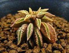 Unusual Plants, Cool Plants, Air Plants, Indoor Plants, Cacti And Succulents, Planting Succulents, Cactus Plants, Peperomia Plant, Dish Garden