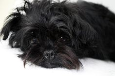 Affenpinscher I see pics of Affens & it's like looking at my own baby