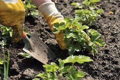 Как сажать клубнику в августе, чтобы не беспокоиться об урожае в следующем году… – БУДЬ В ТЕМЕ