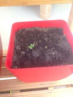Nuestra plantita de rábanos va creciendo!!!!!!