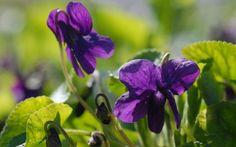 Viola odorata 'Clive Groves' - Duft-Veilchen