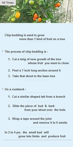 Chip-budding is used to growmore than1kind of fruit on atree http://arzillion.com/S/IoSajG