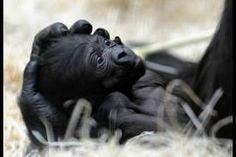 Espèces menacées - gorille de la rivière Cross 5