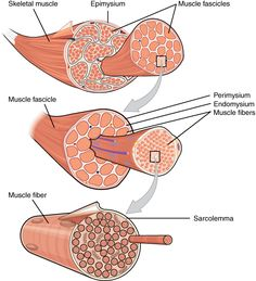 Name the connective tissue layers found in and around skeletal muscle. - Google Search