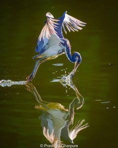 Animal Action, Heron, Birds, Animals, Photographs, Animales, Animaux, Herons, Photos