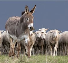 Guard Donkey with Flock (Better then a guarddog) http://www.canadianoffthegrid.com/protecting-livestock-guard-donkeys/