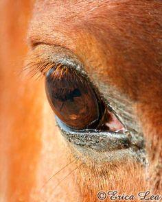 Chestnut Horse Eye Photo Western Decor Macro by NatureVisionsToo