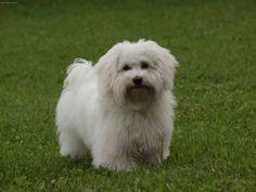 Havanese Adult Dogs | Photo Havanese (Dog standard) (Bichon Havanais, Havanese)