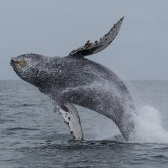 whale-watching-jumping-bahia-solano-tour-colombia-lulo