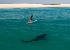 Paddle Surfing with a Great Shark, South Africa. I'm dying to go paddle surfing anywhere. Shark Week, Orcas, Cool Sharks, Sup Stand Up Paddle, Sup Yoga, Sup Surf, Close Encounters, Great White Shark, Tier Fotos