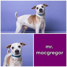 Mr. MacGregor  Age: 10 years Sex: Male Breed: Jack Russell Terrier Weight: 14 lbs Hi! I'm MacGregor… Mr. MacGregor. I'm a senior Jack Russell Terrier. A good Samaritan found me wandering around the street and was nice enough to bring me to Animal Haven. I'm pretty spunky for a guy my age. I love people! I'm timid at first but then I come alive after I warm up to you. I am a great walker and love to investigate new things.   http://www.animalhavenshelter.org/adopt/animals/mr-macgregor