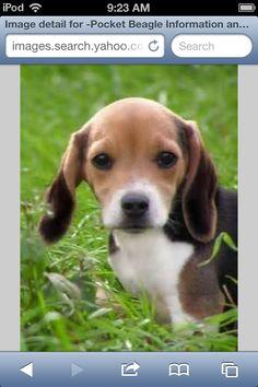 A cute little teacup beagle!