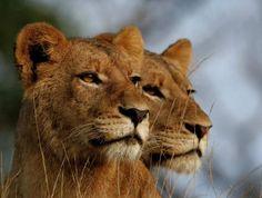 Lionesses in Krugar National Park