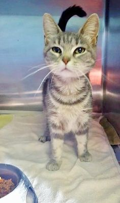 Mouse • Domestic Short Hair-gray • Young • Female • Medium • Marion County Humane Society • Fairmont, WV