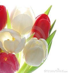 Tulip, my favorite flower