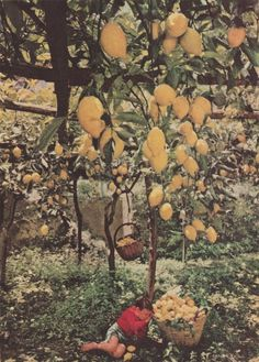 lemon trees will always remind me of my dad...and Peter, Paul and Mary!