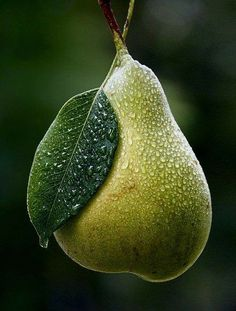 ~~Pear ~ luscious and still on the tree, dew drops by Viktoriya Goryun~~