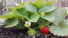 Tips on growing strawberries. Discover the different types of strawberries and master the art of growing delicious, healthy & tasty berries. Types Of Strawberries, Alpine Strawberries, Strawberry Plants, Strawberry Fields, Growing Fruit Trees, Growing Plants, Easy Plants To Grow, Cool Plants, Garden Works