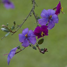 Tibouchina lepidota (sietecueros) | Taken in La Ceja, Colomb… | Flickr