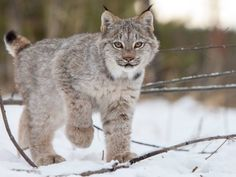 9. Every year, we get incredible photos taken at the Yukon Wildlife Preserve. This one of a curious lynx, by Jake Paleczny, was the best of the bunch.
