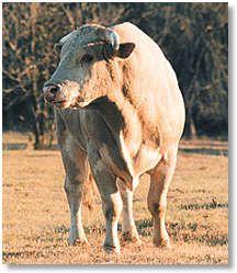 (Cripple Creek's) Promise Land. One of the greatest retired bulls ever.