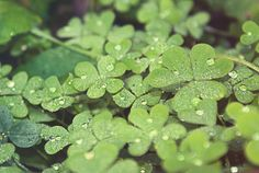 green, clover, four leaf clovers, nature, plants