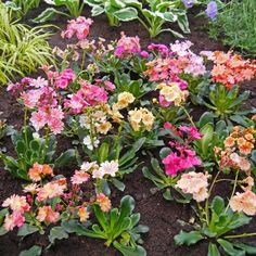 Lewisia Sunset Hybrids Home And Garden, Sunset, Plants, House, Ideas, Home, Sunsets, Plant, Thoughts