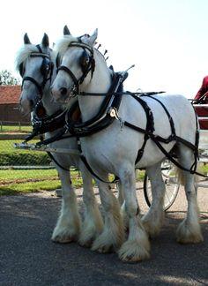 Shire Horses – Page 2 – Simply Marvelous Horse World Big Horses, Work Horses, Horse Love, All The Pretty Horses, Beautiful Horses, Animals Beautiful, Appaloosa, Percheron Horses, Shire Horse