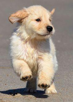 Golden Retriever Puppy Dog Puppies Hound Dogs
