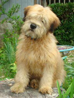 wheaton dog | Wheaton ...