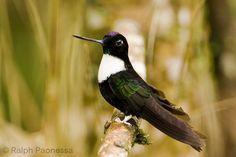 Collared Inca - Ecuador Hummingbirds - Ralph Paonessa Photography Workshops