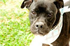 Meet STACY, an adoptable Boxer looking for a forever home. If you're looking for a new pet to adopt or want information on how to get involved with adoptable pets, Petfinder.com is a great resource.