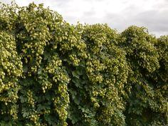 Image result for hereford hops Herefordshire, Kitchen Island, Image, Island Kitchen