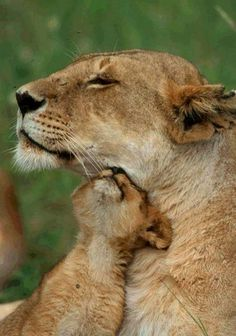 Baby lion cuddles. DEFINITELY my Next tattoo for my son and I ! The Animals, Baby Animals, Wild Animals, Beautiful Cats, Animals Beautiful, Big Cats, Cats And Kittens, Kitty Cats, Gato Grande