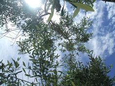 sunshine and olive oil trees. Country Living, Olive Oil, Sunshine, Trees, Italy, Culture, Vacation, Plants, Country Life