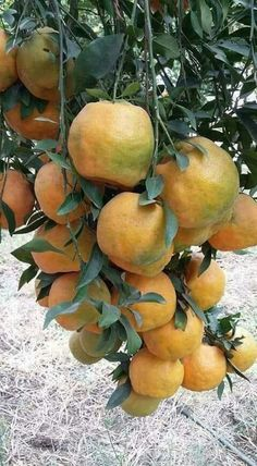 Pin by Zionbennyaalva on Amazing Grafting Healthy Fruits And Vegetables, All Fruits, Fruit And Veg, Fresh Fruit, Fruit Flowers, Fruit Plants, Fruit Garden, Fruit Trees, Colorful Fruit