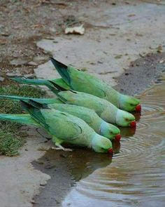four thirsty parrots
